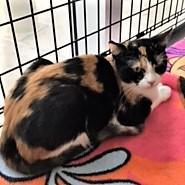 adopt cali the cat