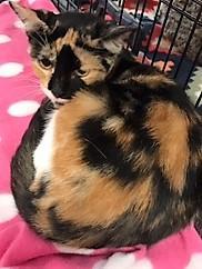 adopt Calypso the cat