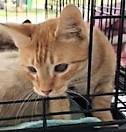 adopt rascal the cat
