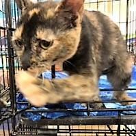 adopt teenah the cat