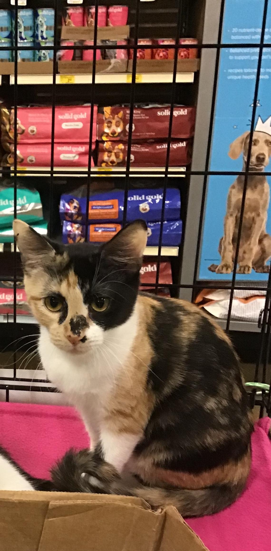 adopt porche the cat